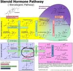 Steroid_Hormone_Pathway_Testosterone_op_800x778